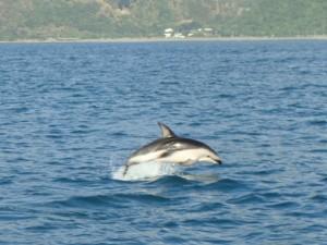 Delfin der springer